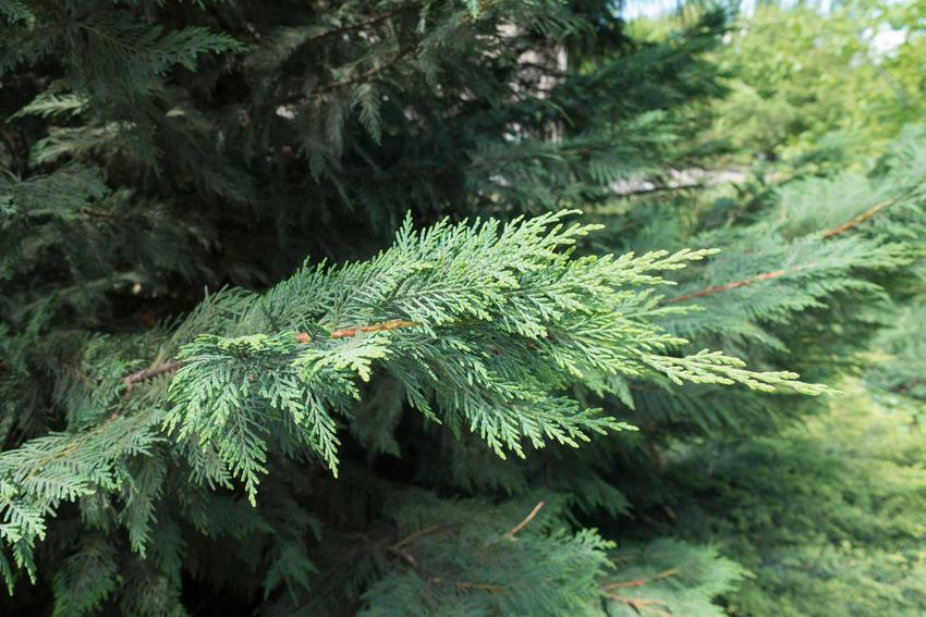 Cyprysik Lawsona to jeden z najładniejszych krzewów w ogrodzie. Odmiany Cyprysika, na przykład 'Bloom', mają ciekawie wybarwione łuski.