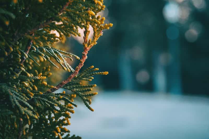 Gałązka cyprysa wiecznie zielonego, warunki uprawy, stanowisko, wymagania, sadzenie, pielęgnacja - porady