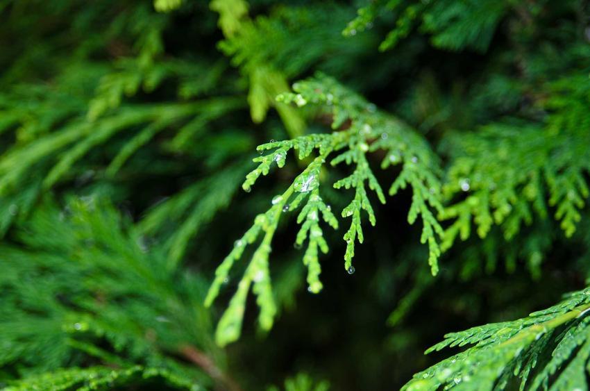 Cyprys wiecznie zielony dobrze wygląda w ogrodzie. Najpopularniejsze odmiany cyprysów są bardziej oryginalne, mają ładny pokrój.