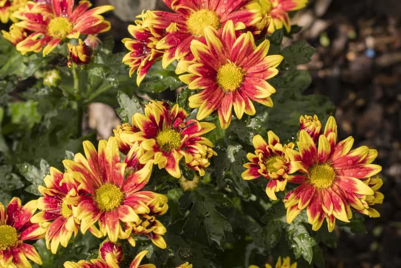 Stokrotka afrykańska o czerwono-żółtych kwiatach, a także sadzenie, uprawa, pielęgnacja, wymagania i najlepsze stanowisko dla osteospemum