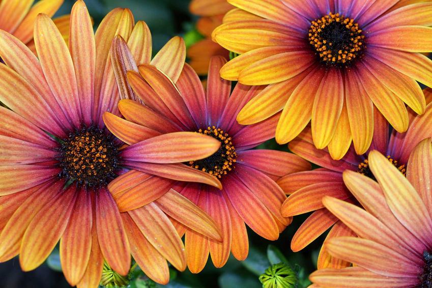 Stokrotka afrykańska przepięknie się prezentuje. Kwiaty są duże i ładne, a roślina ma niskie wymagania w ogrodzie.