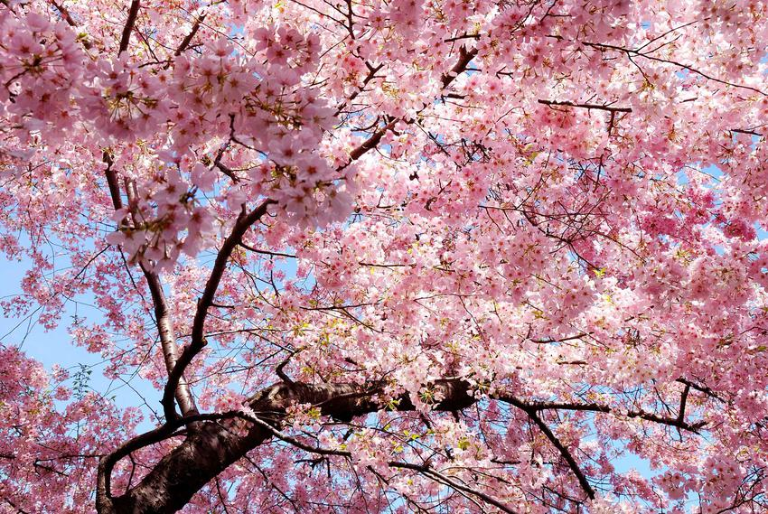 Wiśnia osobliwa ładnie się prezentuje. Odmiany mają różnej wielkości i kolorów kwiaty, a pielęgnacja drzewka nie jest wymagająca.