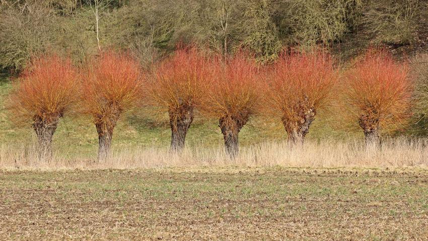 Wierzba purpurowa ładnie się prezentuje w ogrodzie ze względu na kolor swoich gałązek. Większość odmian nie ma dużych wymagań pielęgnacyjnych.