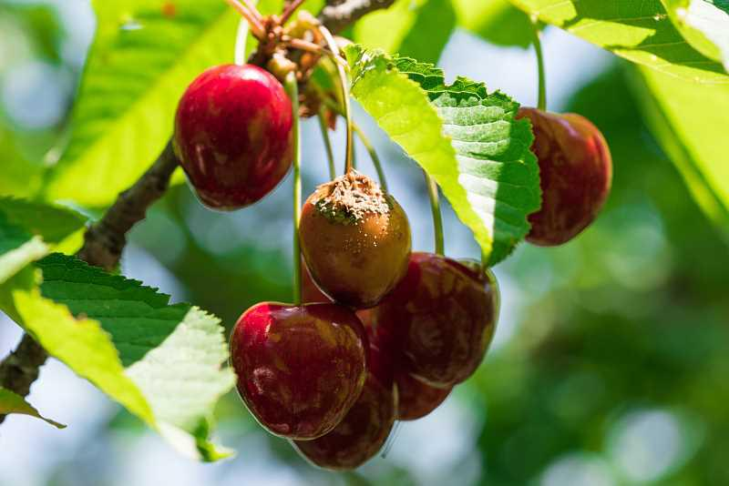 Chore owoce wiśni na drzewie, sposoby walki z chorobami i szkodnikami wiśni, skuteczne domowe i chemiczne opryski