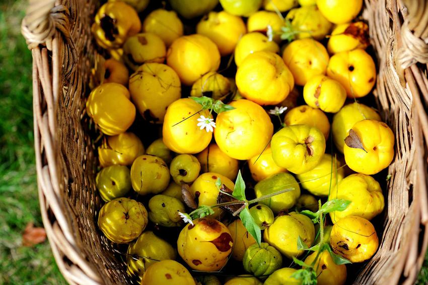 Owoce pigwowca są dość duże i soczyste. Nadają się do połączenia ze spirytusem, dlatego powstaje dobrej jakości, smaczna nalewka z pigwowca.