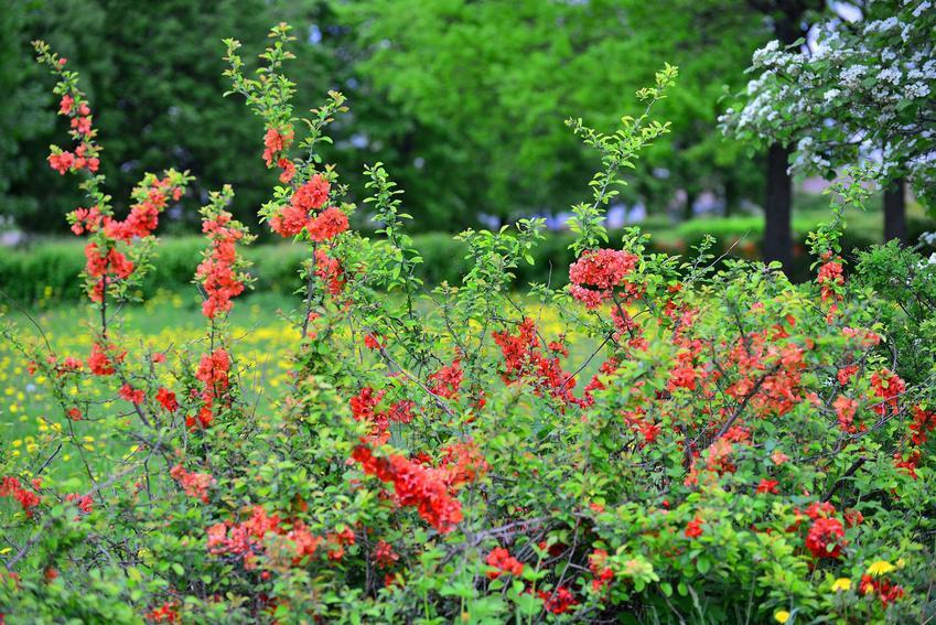 Pigwowiec japoński to krzew o ładnych, czerwono-pomarańczowych kwiatach. Jego owoce są smaczne i nadają się na przetwory.