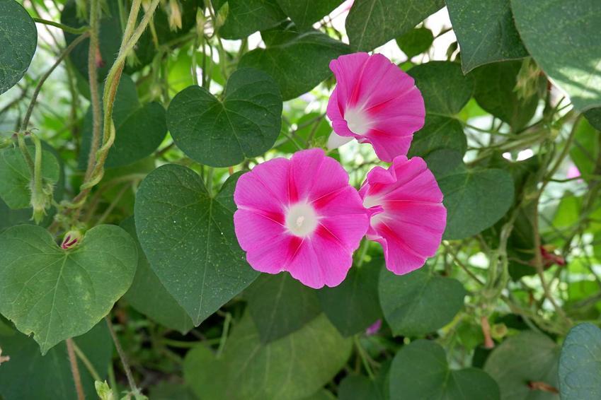 Kwiat wilec zarasta barierki i ogrodzenia balkonów i tarasów. Wymagania rośliny są małe, a piękne odmiany kolorystyczne mają mnóstwo uroku