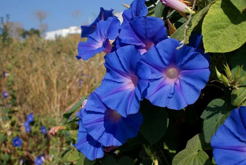 Duży kwiat wilca o niebieskim kolorze, a także informacje o pielęgnacji, uprawa, stanowisko na balkonie i tarasie, sadzenie