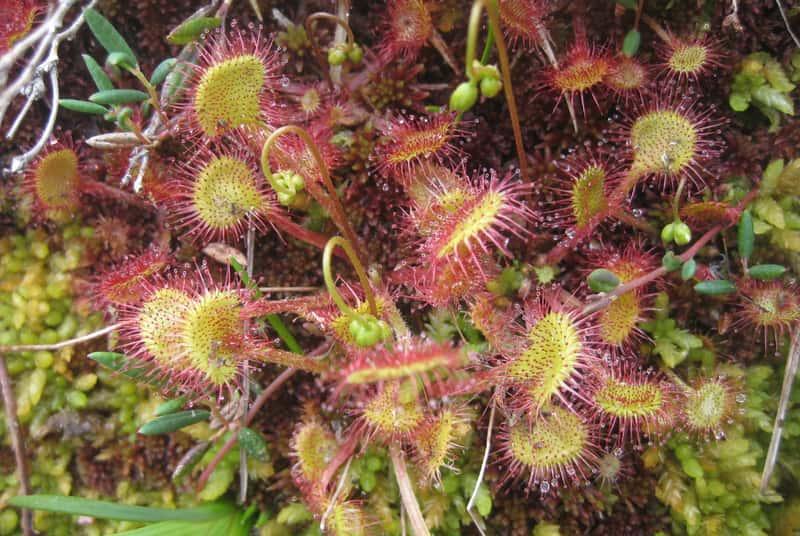 Rosiczka - roślina owadożerna - odmiany, warunki uprawy w domu, wymagania, sadzenie, sposoby odżywiania roślin owadożernych - porady