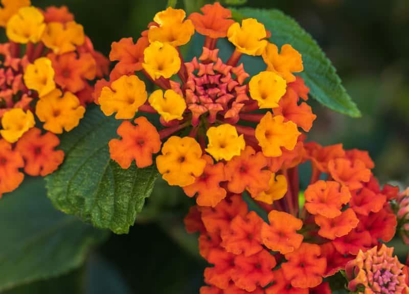 Lantana o żółtych i pomarańczowych drobnych kwiatach, a także inne odmiany, uprawa, pielęgnacja, sdzenie oraz rozmnażanie