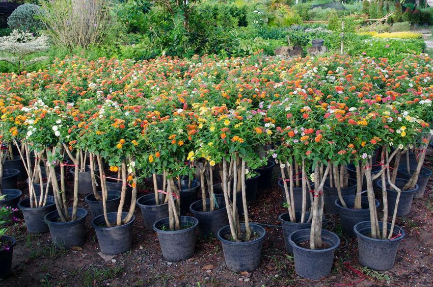 Odmiany lantany bonsai i niewielkie sadzonki ładnie się prezentują w ogrodzie. Nie są duże, ale mają urocze kwiaty. Warto je sadzić, zwałaszcza, że pielęgnacja nie jest trudna.