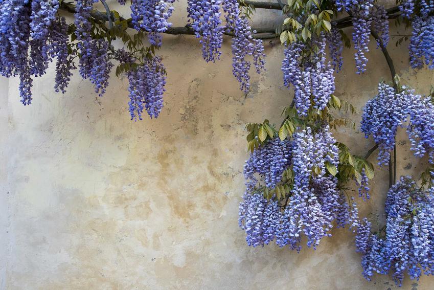 Wisteria (glicynia) – sadzenie, hodowla i pielęgnacja pięknego pnącza w ogrodzie