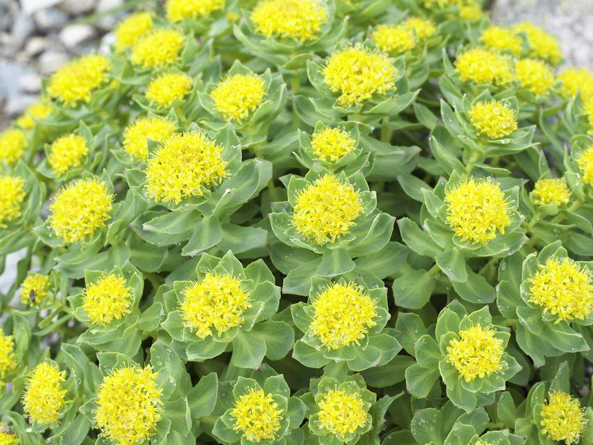 Różeniec górski to jedna z ładniejszych roślin leczniczych. Służy do przygotowania preparatów o działaniu leczniczym.
