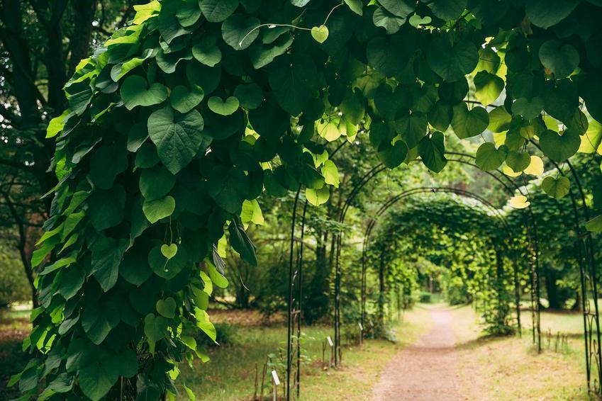 Odmiany kokornaka są bardzo atrakcyjne. Mogą mieć różne kolory i wielkości liści, co wpływa na ich wygląd i zastosowanie w ogrodzie.