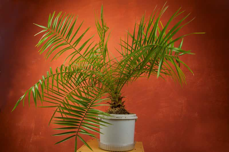 Palma kokosowa o ciemnozielonych liściach w dużej doniczce, a także sadzenie, pielęgnacja oraz opis rośliny do uprawy w domu