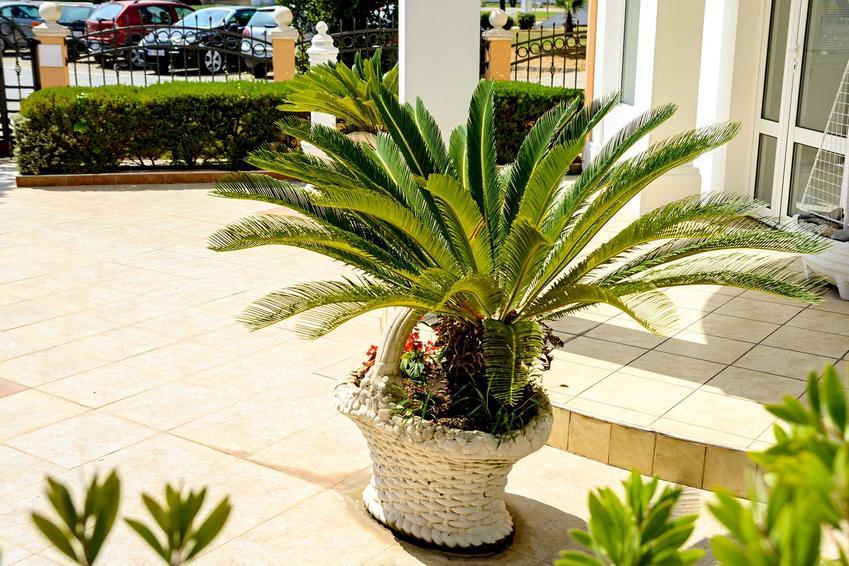 Palma kokosowa w doniczce powinna być uprawiana w domu, jednak jej pielęgnacja pozwala na wyniesienie jej na balkon czy taras w czasie upałów. Cena sadzonki jest dość wysoka.