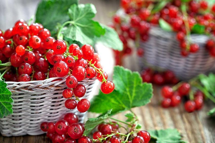Owoce czerwonej porzeczki mają wiele wartości odżywczych i witamin. Świetnie nadają się na przetwory różnego rodzaju.