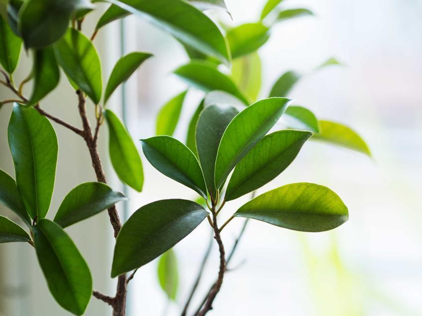 Ficus ginseng (fikus tępy) - uprawa, pielęgnacja, podlewanie, przycinanie, cena