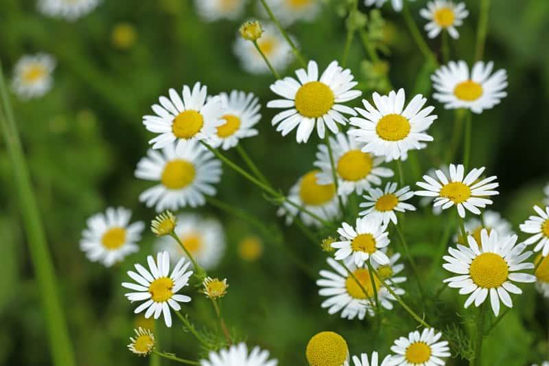 Białe kwiaty rumianku pospolitego, a także uprawa, zastosowanie, herbatka z rumianku, najważniejsze właściwości