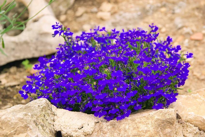 Lobelia przylądkowa o niebieskich kwiatach jest zdecydowanie najbardziej popularną odmianą, dobrze sprawdza się w ogrodzie, a uprawa nie jest trudna.