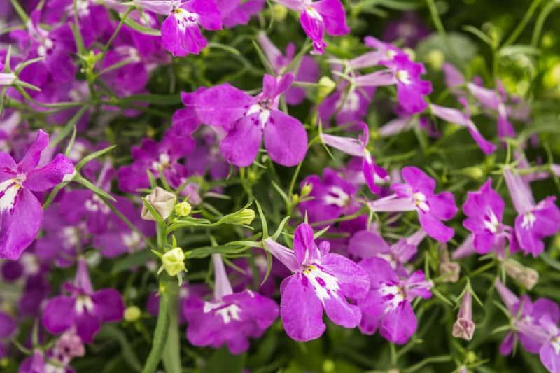 Fioletowe kwiaty lobelii w ogrodzie, a także najpiekniejsze odmiany lobelii oraz pielęgnacja i uprawa kwiatu w ogrodzie lub w doniczkach