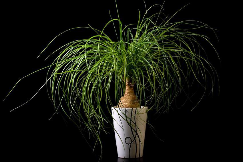 Nolina, jedna z najpiękniejszych palem o gładkich, długich liściach i gładkiej powierzchni kory to przepiękna roślina, która jest jednak podatna na chroby.