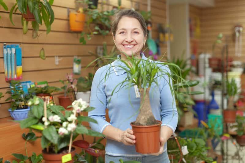 Nolina, czyli beukamea wygięta - piękna roślina w doniczce, a takze jej uprawa, pielęgnacja i podlewanie krok po kroku