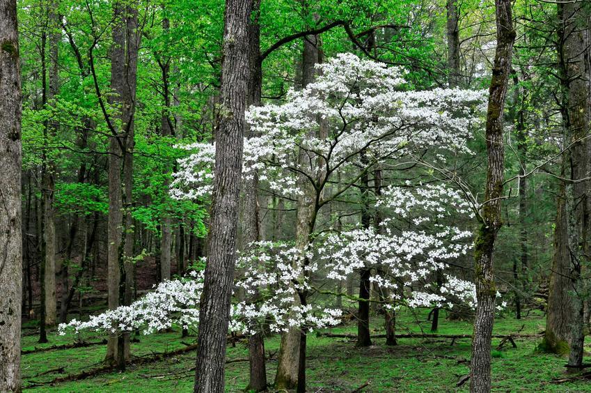 Dereń biały Elegantissima ładnie się prezentuje w połączeniu z drzewami iglastymi i różnymi roślinami kwitnącymi.