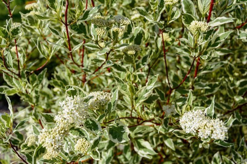 Dereń elegantissima o białych kwiatach rosnący w ogrodzie, sadzenie, pielęgnacja, uprawa oraz podlewanie krok po kroku