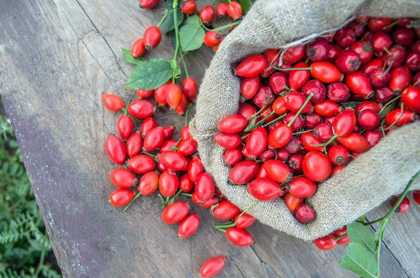 Owoce dzikiej róży na stole, a także ich wykorzystanie, zastosowanie, przetwory i herbatki z dzikiej róży, właściwości lecznicze