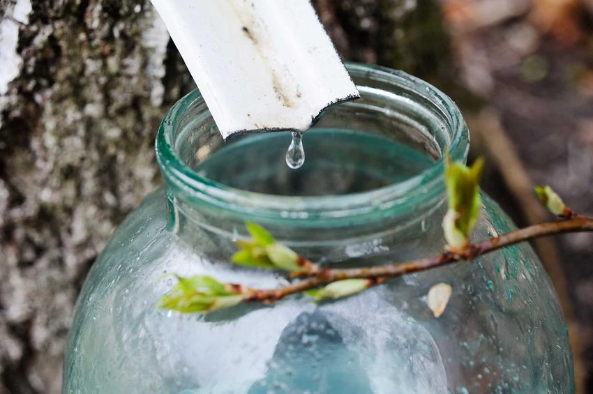 Sok z brzozy - właściwości lecznicze, wykorzstanie, zastosowanie oraz sposoby pobierania soku z drzewa, przygotowanie, przechowywanie