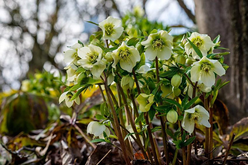 Ciemiernik biały o wyjątkowych kwiatach, porady, uprawa, pielęgnacja, opis, sadzenie oraz odmiany dla miłośników ogrodów
