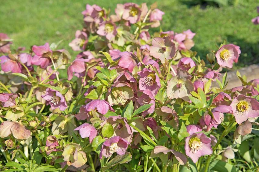 Ciemiernik w ogrodzie o białych kwiatach w czasie kwitnienia na rabacie, a także sadzenie, uprawa i pielęgnacja