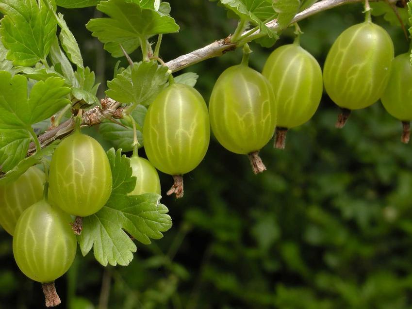 Gałązka owocującego agrestu, a także choroby agrestu, ich zwalczanie, rozpoznanie, opryski i środki