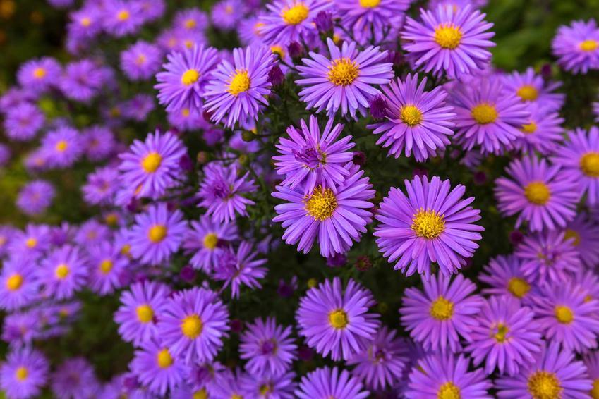 Astry to kwitnące byliny wieloletnie, które wspaniale wyglądają w ogrodzie, a także informacje o bylinach wieloletnich krok po kroku