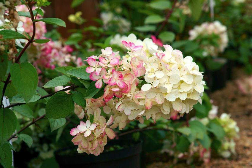 Hortensja o białych i różowych kwiatach, a także informacje o najlepszych krzewach i bylinach do ogrodu