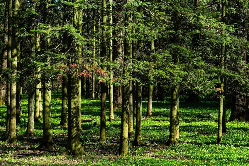 Jodła syberyjska w lesie, a także zastosowanie jodły, sadzenie, pielęgnacja oraz uprawa krok po kroku