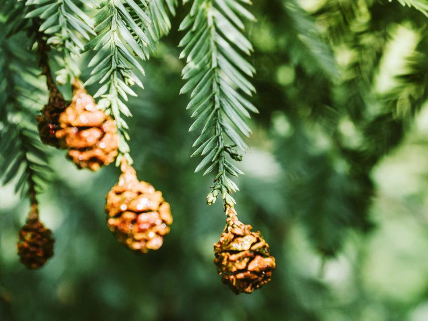 Gałęzie jodły kanadyjskiej z szyszkami - charakterystyka, warunki uprawy, wymagania, stanowisko, sadzenie, pielęgnacja - porady
