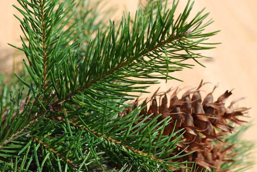 Szlachetna jodła z szyszką, a także sadzenie, pielęgnacja oraz uprawa jodły i jej zastosowanie w ogrodzie