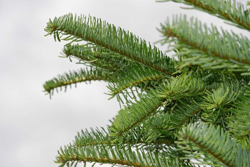 Jodła szlachetna o zielonych igłach w ogrodzie, a także sadzenie, pielęgnacja oraz opis gatunku i odmiany