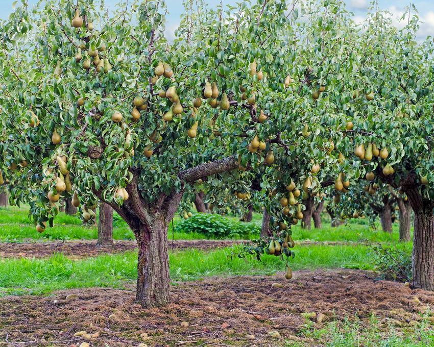 Grusza konferencja w sadzie - opis, charakterystyka, warunki uprawa, pielęganacja, sadzenie, choroby oraz właściwości i zastosowanie