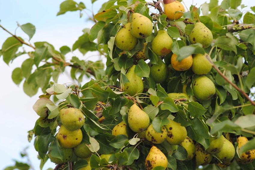 Grusza owocująca w ogrodzie, a także informacje o chrobach gruszy: parch gruszy, rdza liści gruszy, zapobieganie, leczenie, opryski
