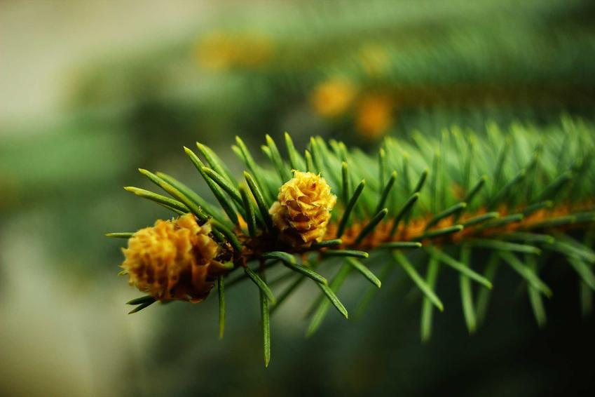 Igiełki jodły zwyczajnej w ogrodzie, a także sadzenie, pielęgnacja i uprawa oraz najpiękniejsze odmiany i zastosowanie