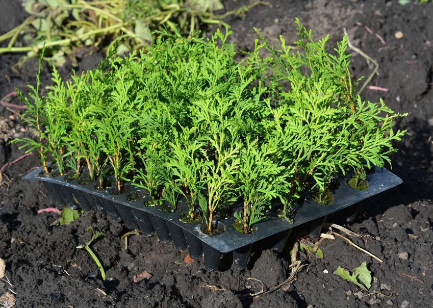 Sadzonki tui Brabant na żywopłot, a także rozmnażanie, sadzenie, sadzonki opraz uprawa na żywopłot