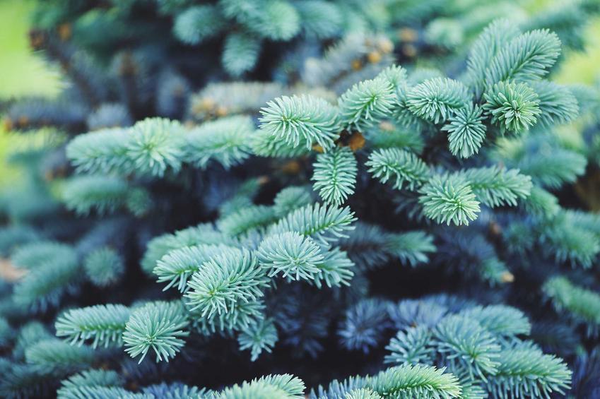 Świerk srebrzysty zachwyca w ogrodzie pięknym wyglądem lekko przyprószonych siwizną igieł. To sprawia, że jest on niezwykle popularny także jako drzewko świąteczne
