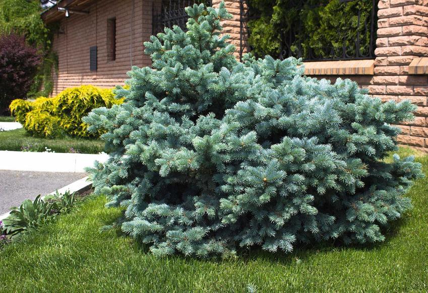 Świerk srebrny o karłowatym pokroju w ogrodzie, a także uprawa, pielęgnacja, sadzenie i podlewanie