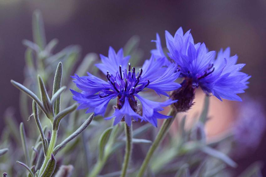 Kwiat Chaber bławatek - charakterystyka, warunki uprawy, wymagania oraz właściwości lecznicze i zastosowanie, a także zwalczanie w polu