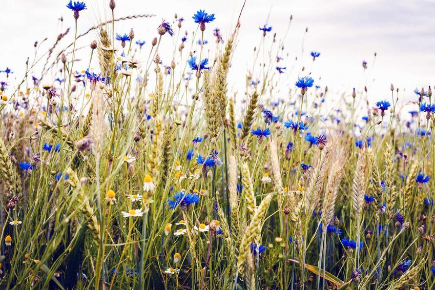 Chaber bławatek jako chwast rosnący w zbożu - uprawa, wymagania, właściwości lecznicze i zastosowanie oraz zwalczanie w zbożu