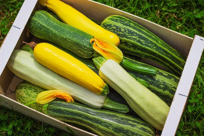 Kabaczki o różnych kolorach uprawiane w ogrodzie, a także zastosowanie warzyw, sadzenie, pielęgnacja i uprawa