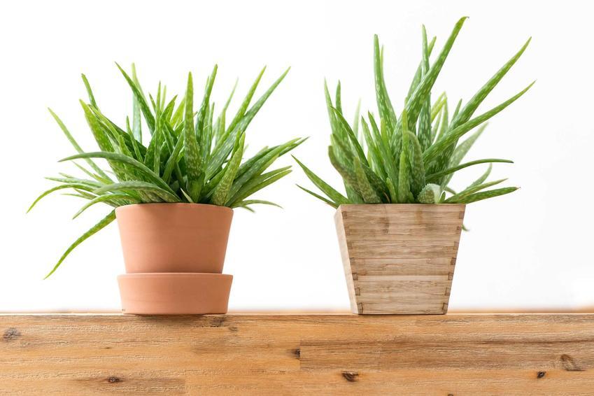 Aloes zwyczajny w doniczkach i zielone liście aloesu, a także pielęgnacja, uprawa w doniczce na parapecie oraz podlewanie